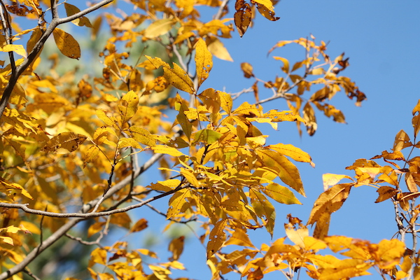yellow leaves against a blue sky