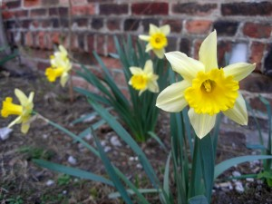daffodils in front of a brick wall