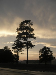 tall backlit tree with evening clouds and sky in the background