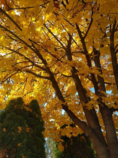 yellow leaves on a maple tree